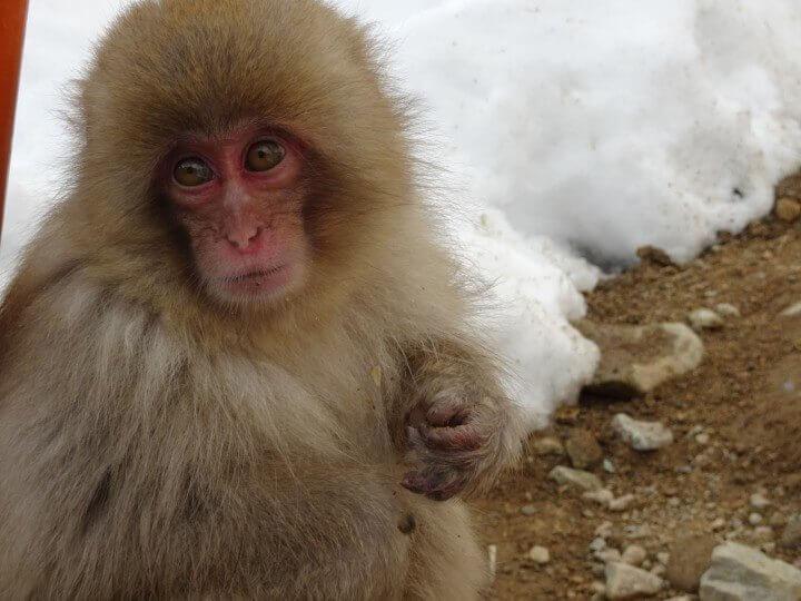 Japan snow monkey in Nagano