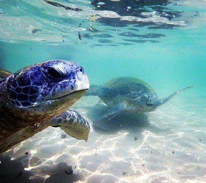 Hikkaduwa Green Turtles