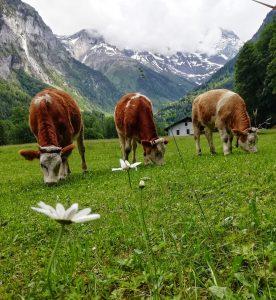 cows in lauterbrunnen Switzerland