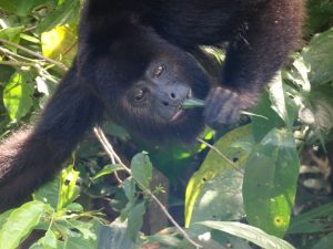 Howler monkey at Belize Zoo