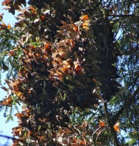 Monarch butterfly travel to Mexico