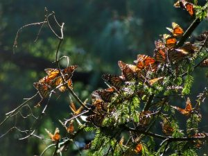 Images of Monarch Butterflies in Mexico