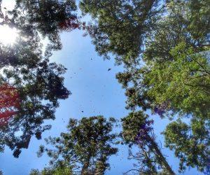 Monarch butterfly Mexico - How to visit the reserves