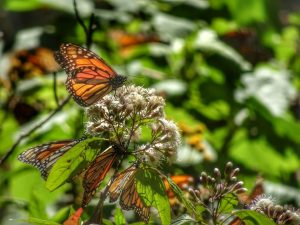 Images of Monarch Butterflies Mexico