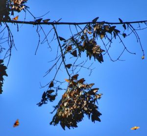 Where do Monarch butterflies migrate to in Mexico?