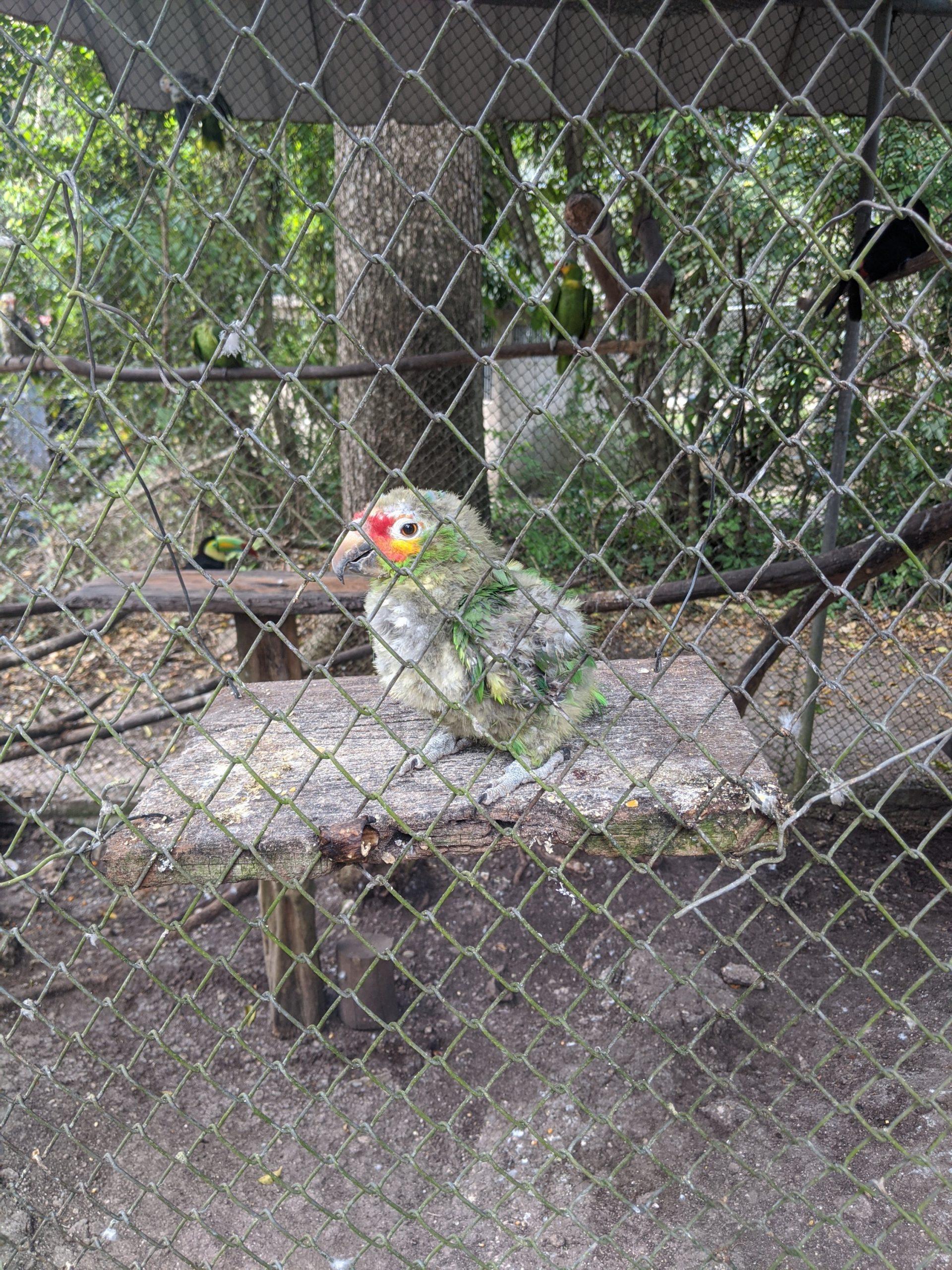 A baby parrot at ARCAS rehabilitation centre